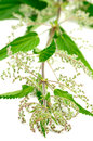 Stinging Nettle (Urtica Dioica) Royalty Free Stock Photo