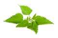 Stinging nettle on white Royalty Free Stock Photo