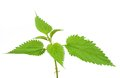 Stinging nettle young in front of a white studio background Stock Photo