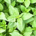 Stinging nettles Stock Photos