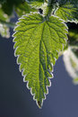 Stinging Nettles Stock Images