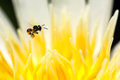 Stingless bee flying on lotus pollen Royalty Free Stock Photo