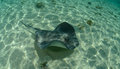 Stingray in the bahamas in its natural habitat swimming ocean tropical waters Royalty Free Stock Photo
