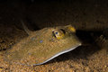 Stingray underwater Royalty Free Stock Images