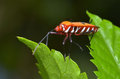 The stink bug colourful walking on leafs Stock Photography