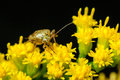 Stink bug on goldenrod flowers an extreme closeup of a golden rod Stock Photo