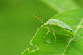 Stink bug on the leaf is staying tree Royalty Free Stock Photo
