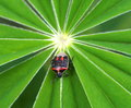 Stink bug on russel lupin leaves in summer Stock Photo