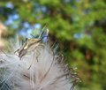 Stink bug at summer time a on fluffy seed in natural green blurry back Stock Photography