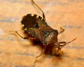 Stink bug top view of a or shield Royalty Free Stock Image