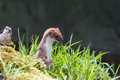 Stoat looking over grass hunting Stock Photography