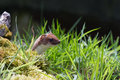 Stoat looking over grass hunting Royalty Free Stock Images