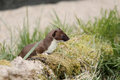 Stoat mustela erminea single mammal in grass captive may Stock Photography