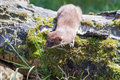Stoat mustela erminea standing on a log hunting for food Royalty Free Stock Photography
