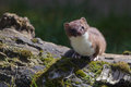Stoat mustela erminea standing on a log hunting for food Royalty Free Stock Image