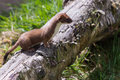 Stoat mustela erminea standing on a log hunting for food Royalty Free Stock Photos