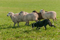Stock Dog Runs with Group of Sheep Ovis aries Royalty Free Stock Photo