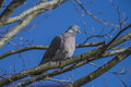 Stock dove sitting on a branch the columba oenas is species of bird in the family columbidae doves and pigeons photo is shot in Royalty Free Stock Images