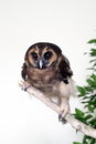 Stock image of Owl Royalty Free Stock Photo