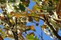 Di quercia albero ghianda