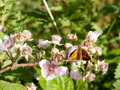 Stock Photo - orange resting butterfly Large Skipper upperwing Royalty Free Stock Photo