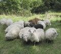Stock Photo of Sheep Stock Photo