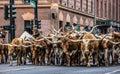 Stock Show Parade Bulls Royalty Free Stock Photo