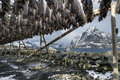 Stockfish (cod) in winter time in Gimsoy, Lofoten Islands, Norway. Royalty Free Stock Photo