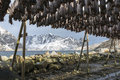 Stockfish hanging in the winter in Reine, Lofoten Islands, Norway. Royalty Free Stock Photo