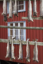 Stockfish racks in lofoten is suspended by drying preserved fish which pairs on to dry Stock Photos