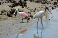 Stocks wading along shore two large storks the water s edge scavenging for food wood stork mycteria americana and roseate Stock Image