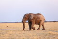 Stompy the elephant in nxai pan np botswana Stock Images