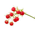 Stone bramble rubus saxatilis berry on white background Stock Photography