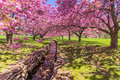 A stone canal reflects pink cherry trees in full bloom Royalty Free Stock Photo