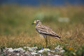 Stone curlew, Burhinus oedicnemus Royalty Free Stock Photo