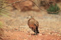Stone curlew the eurasian standing on the soil Royalty Free Stock Photos