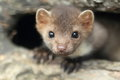 Stone marten the detail of young Royalty Free Stock Photos