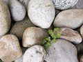Stone pebbles and the fresh green plant close up of with growing through Stock Photography