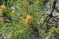 Stone pine with unripe cones Royalty Free Stock Photo