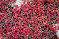 Stone and plant texture red sedum beautiful Stock Photography