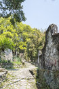 Stone road and Old camphor tree Royalty Free Stock Photo