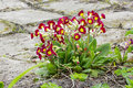 Stone road whit red primrose primula cloudy day evening spring flowers in the garden dff image adobe rgb Stock Photography