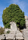 Stone Tree Stock Image