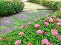 Stone walkway with pink west indian jasmine or rubiaceae bush alongside in sunny day Stock Image