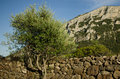 Stone wall with tree, Sardinia Royalty Free Stock Photo