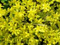 Stonecrop lat. Sedum acre caustic is a small glabrous perennial plant Royalty Free Stock Photo