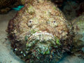 Stonefish Stock Photos