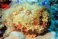 Stonefish Royalty Free Stock Photo