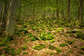 Stones covered by moss bryophyte in forest Stock Image