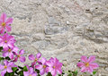 Stony wall and flower old pink flowers background Royalty Free Stock Image